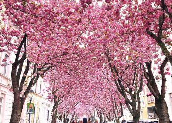Cherry Blossom Avenue in Bonn Germany