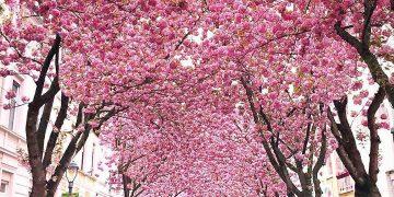 Cherry Blossom Avenue in Bonn Germany