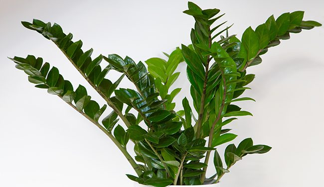 zz plant easy to care house plant