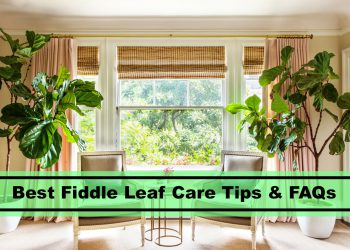 best caring tips for fiddle leaf figs