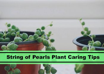how to care for string of pearls plant like a pro