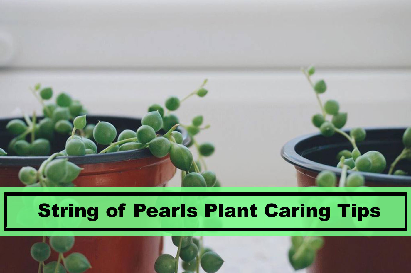 6 Best String Of Pearls Plant Caring Tips For 2020 Plants Spark Joy