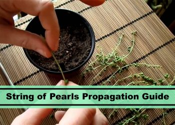 how to propagate string of pearls tutorial guide