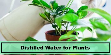 using distilled water for plants