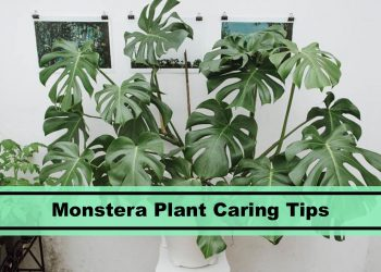 monstera deliciosa swiss cheese plant caring tips