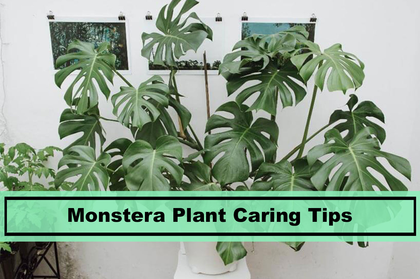 Best Monstera Plant Care Tips For 2020 Plants Spark Joy,How To Make Mexican Rice In Rice Cooker