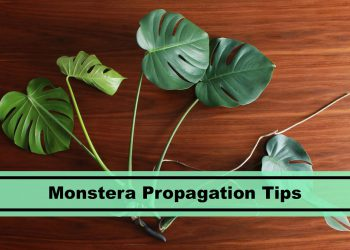 best monstera propagation tips and methods