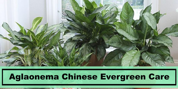 aglaonema chinese evergreen houseplant care tips