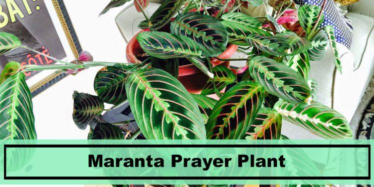 house plant maranta prayer plant care tips