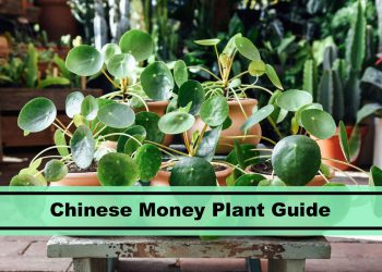 pilea peperomioides chinese money plant house guide