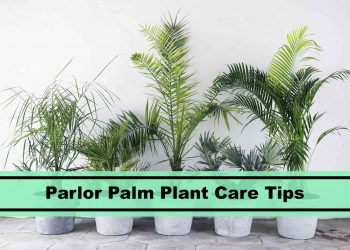 parlor palm house plant care tips