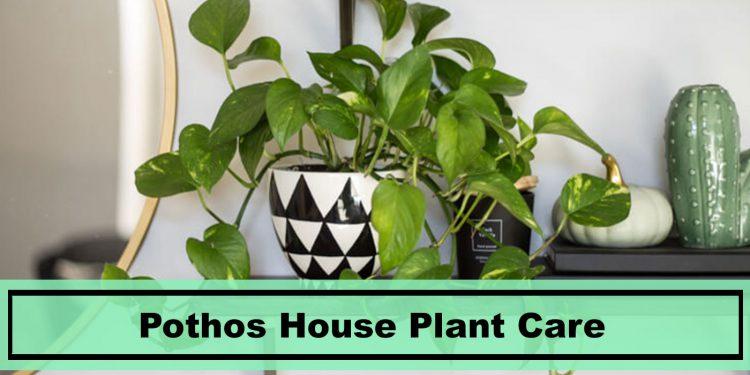 golden marble pothos house plant