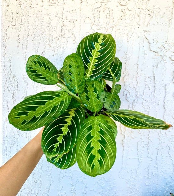 maranta leuconeura hint red prayer plant