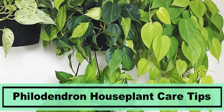 philodendron houseplant care tips and grow guide