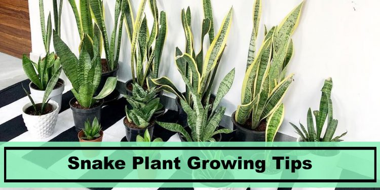 sansevieria snake plant growing care tips