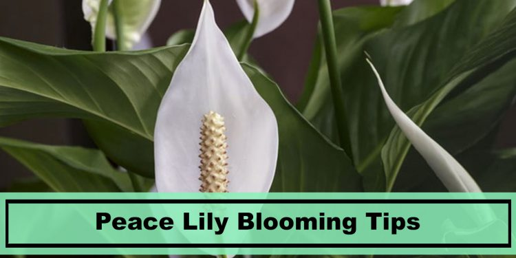 Peace Lily Blooming Flower Tips
