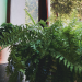 how to grow indoor ferns guide