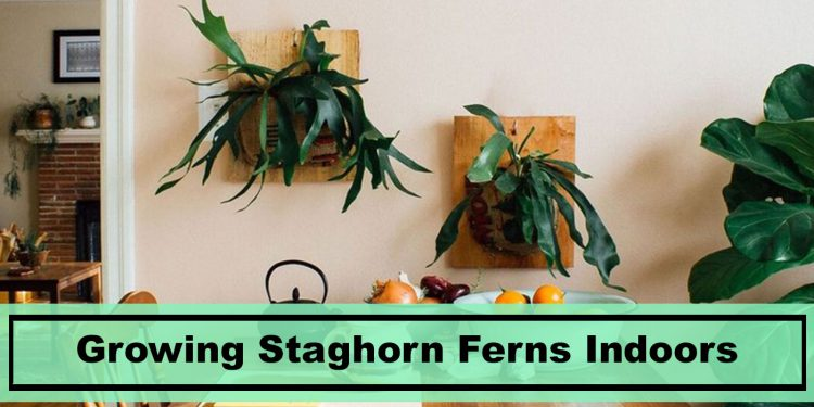 staghorn ferns hanging on wall home decor