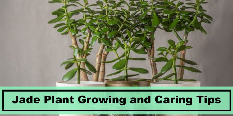 jade house plant growing and caring tips