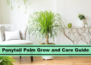 ponytail palm home decor indoor plants care guide