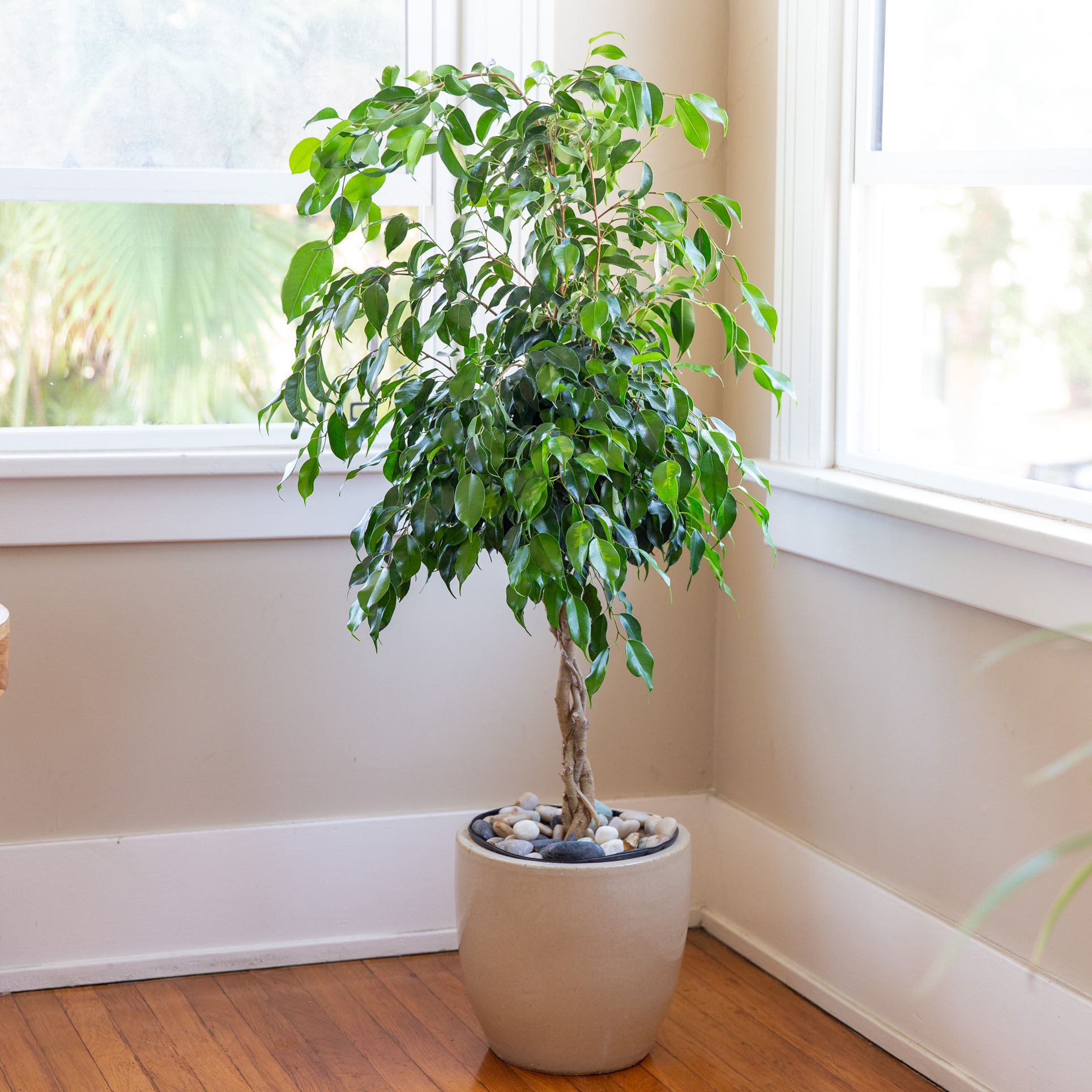 ficus weeping fig air purifying house plant