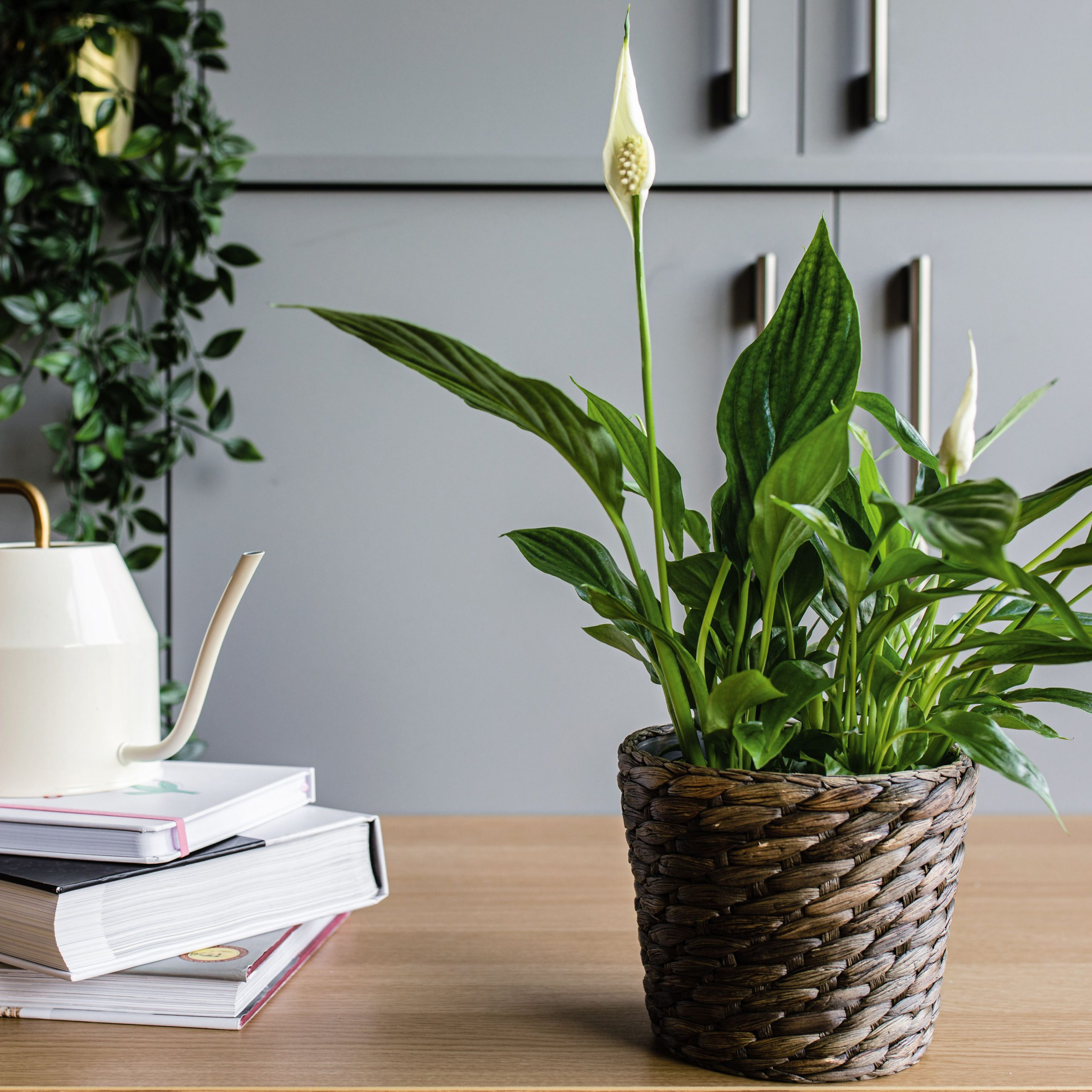 peace lily air purifying house plant