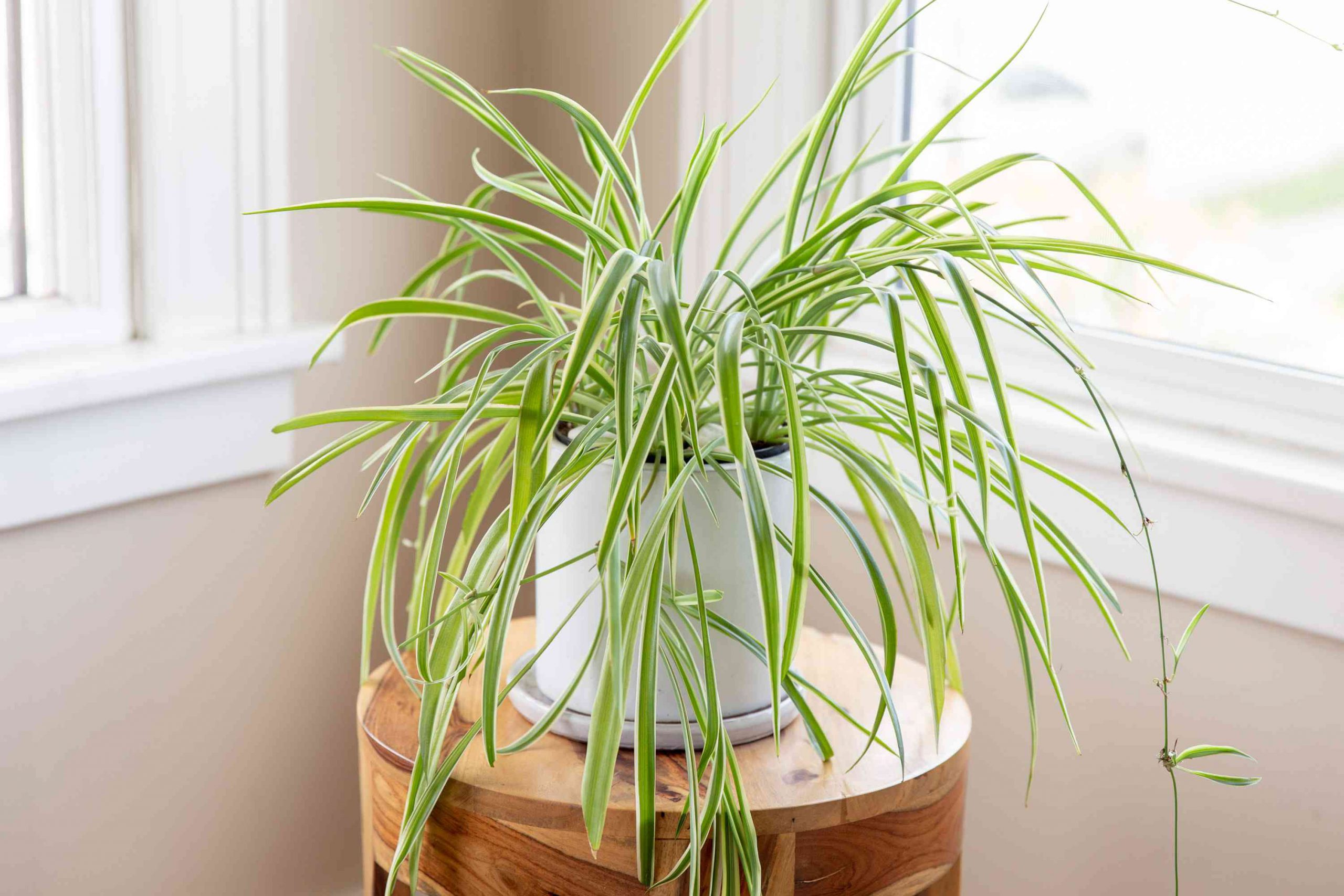 spider plant air purifying house plant