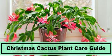 Caring tips for Christmas Cactus Plants