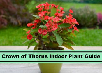 crown of thorns indoor plant guide and caring tips