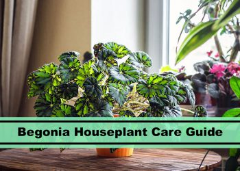 begonia houseplant care tips