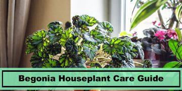 begonia houseplant care tips
