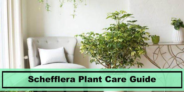schefflera indoor house plant
