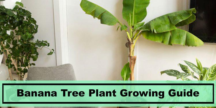 banana tree plant growing indoors