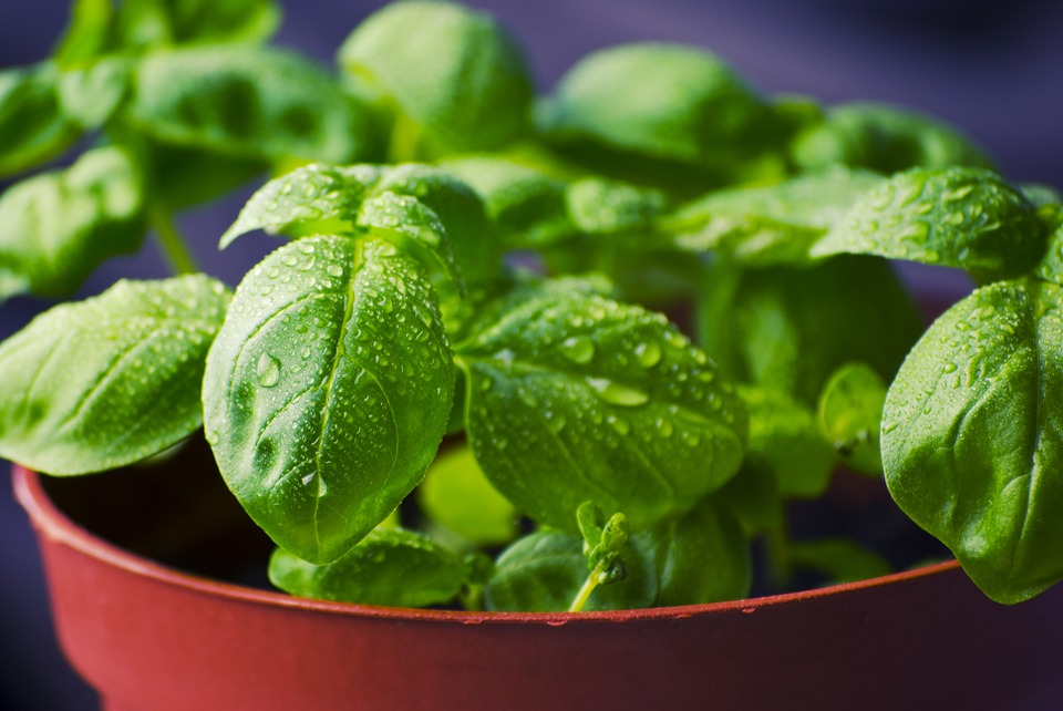 growing basil herbs in the kitchen