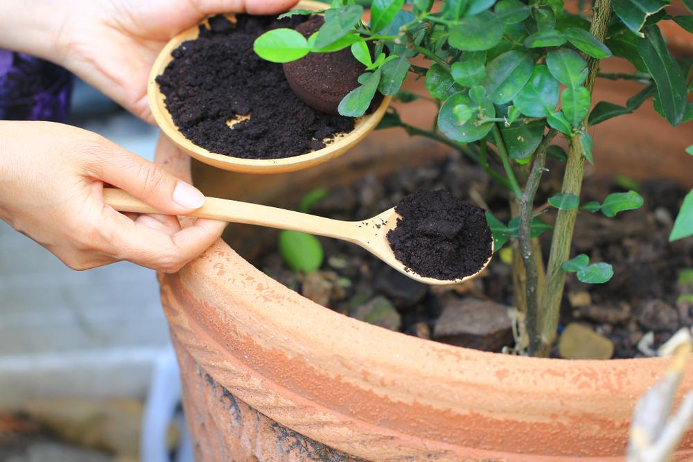 coffee ground as fertilizer