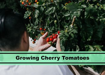grow cherry tomatoes at home
