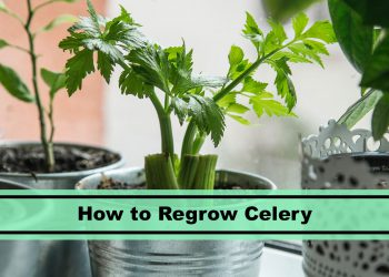 regrow celery at home