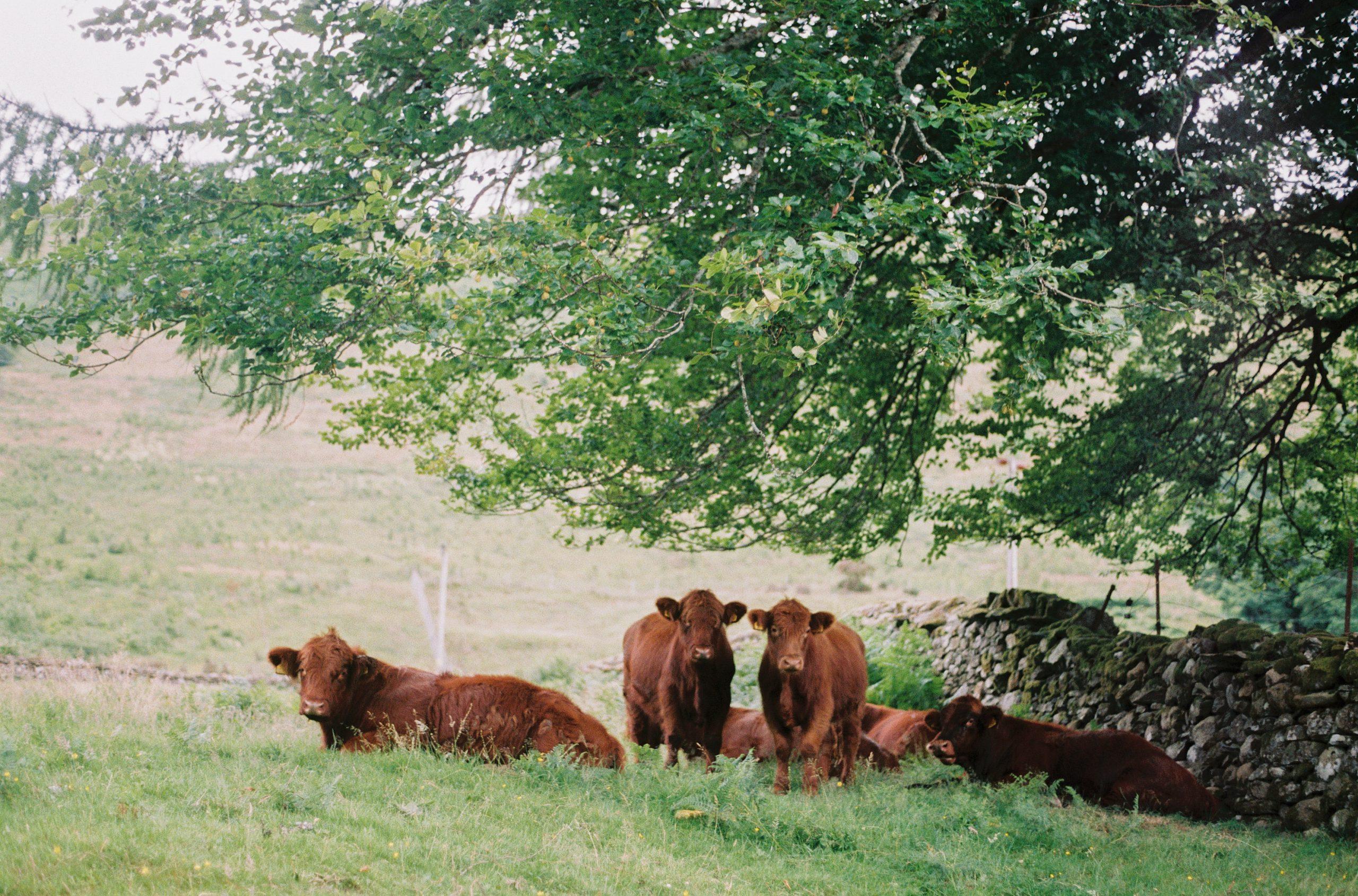 bison livestock