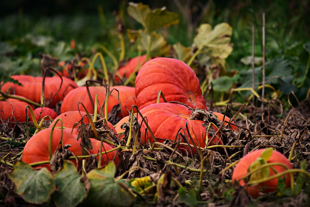 vibrant orange pumpkins laying on the ground