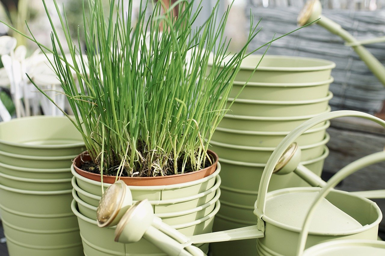 growing chives in a bucket