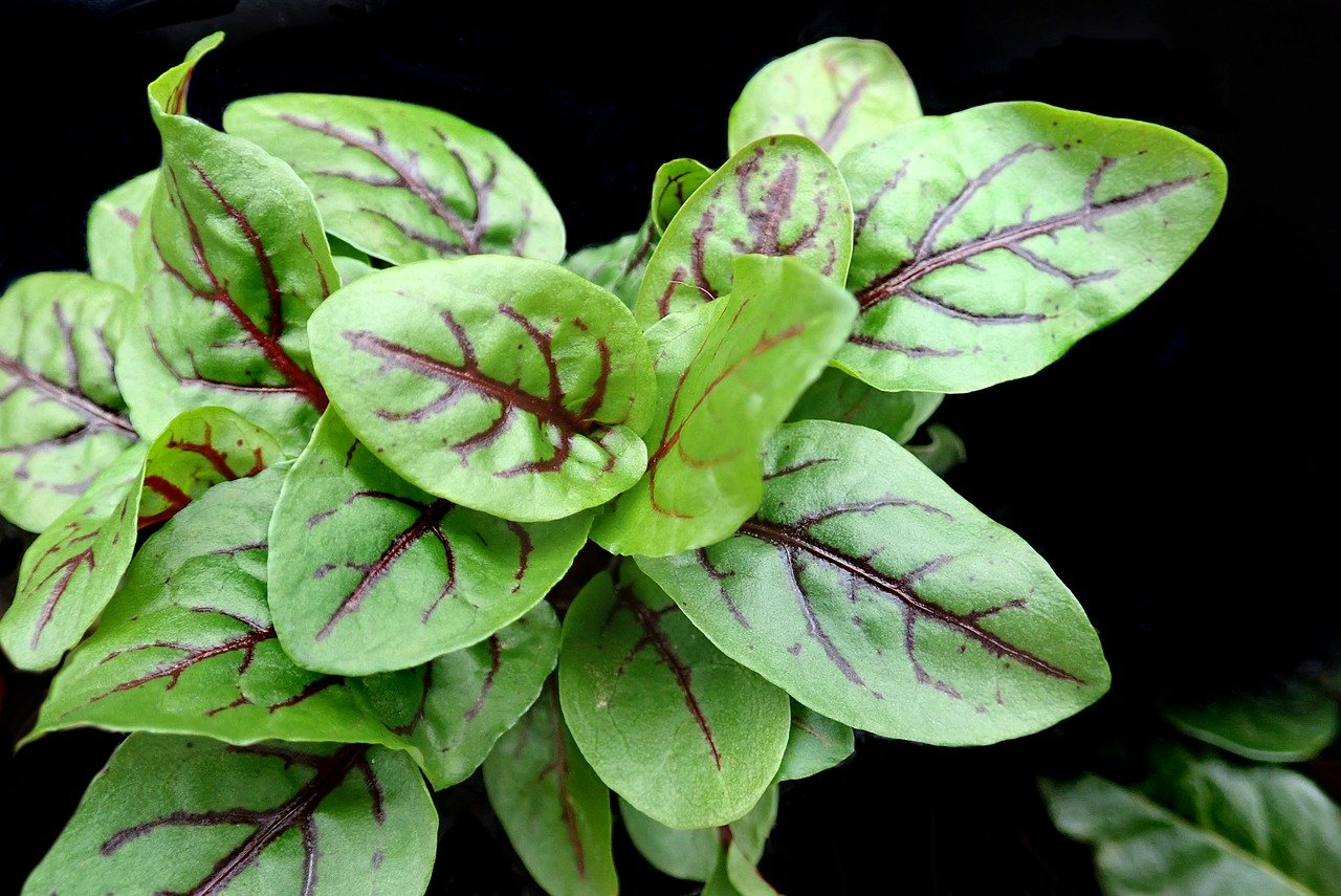 vibrant sorrel plant leaves
