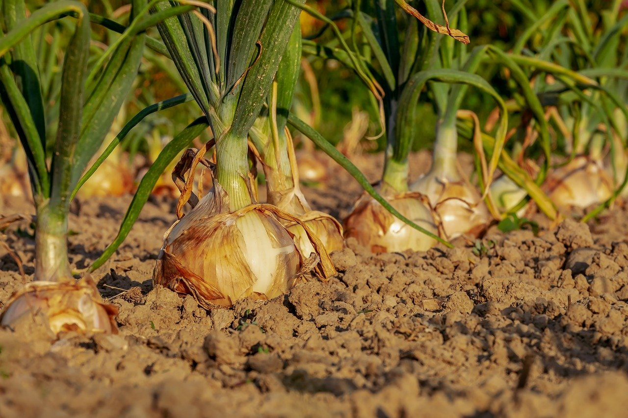 close up of growing onions