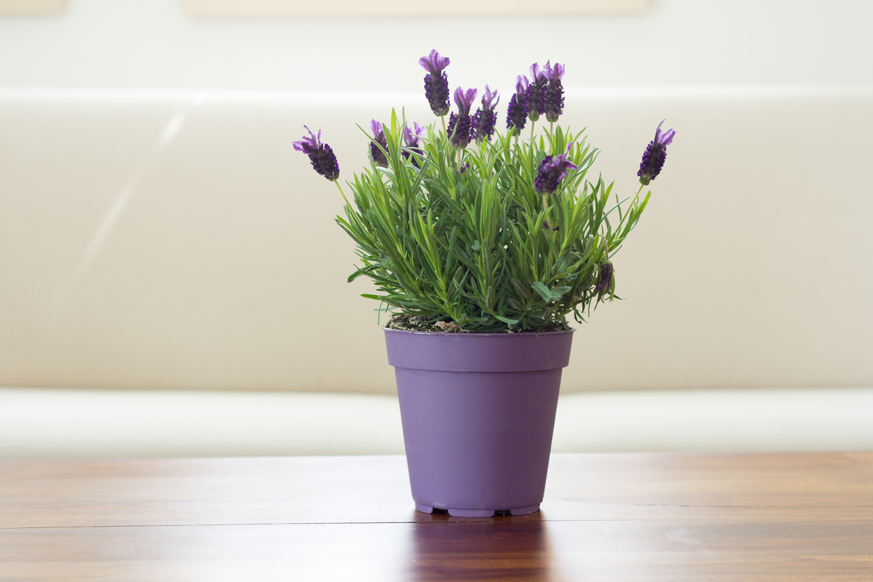 lavender plant flowers in the pot