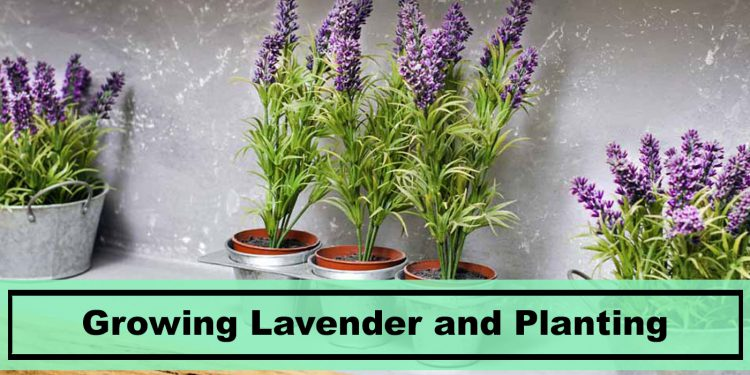 growing lavender plants indoors and outdoors tips and tricks