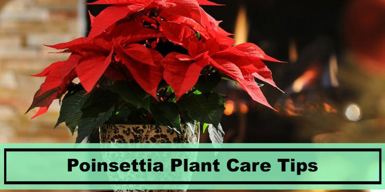 growing and caring tips for Poinsettia house plants