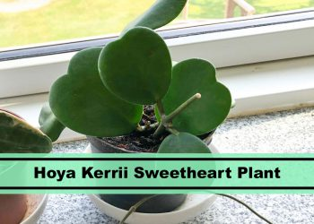 Tips growing Hoya Kerrii sweet heart plants