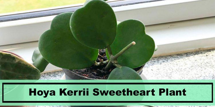 Tips growing Hoya Kerrii sweet heart plants