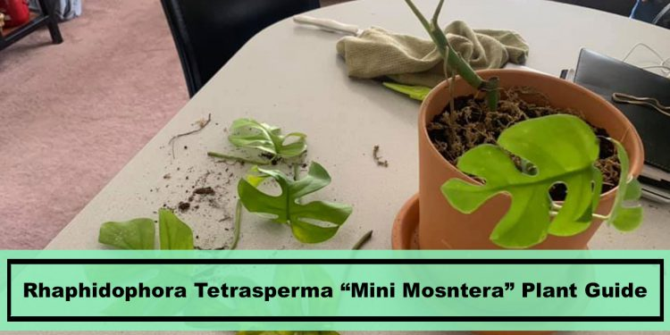 Rhaphidophora tetrasperma Mini Monstera house plant guide