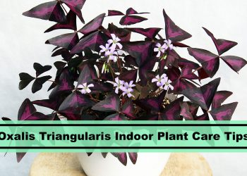Fake Shamrock Oxalis Triangularis Indoor Houseplant Care and Growing Tips