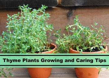 growing and caring for Thyme Plants